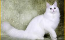缅因猫吃什么长个子?缅因猫什么时候尴尬期?