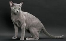 《世界名宠俱乐部的俄罗斯蓝猫知识系列》