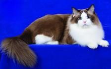 布偶猫颜色分类介绍_布偶猫颜色种类_布偶猫颜色