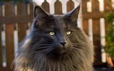 挪威森林猫颜色大全,谈虎斑挪威森林猫