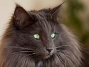 挪威森林猫颜色介绍,谈纯色挪威森林猫