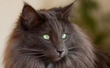 挪威森林猫是巨型猫吗?谈挪威森林猫和缅因猫