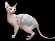 斯芬克斯猫总出油,斯芬克猫怎样少出油?