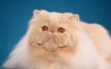《波斯猫买猫入门必读篇电子书》
