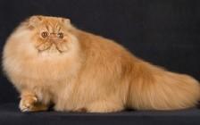 《波斯猫品相详解电子书》波斯猫品相鉴定