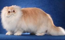 《世界名宠俱乐部的波斯猫知识系列》