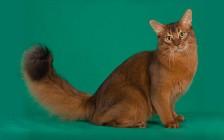 索马里猫好不好养?索马里猫好养吗?
