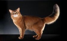 索马里猫多少钱一只?索马里猫价格