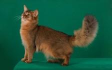 索马里猫为什么难饲养?索马里猫饲养注意事项