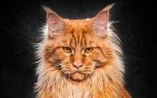 缅因猫性格如何?缅因猫性格好吗?缅因猫温顺吗?