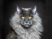 缅因猫什么颜色最值钱?缅因猫什么颜色价格高?