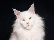 缅因猫哪家好?专业正规缅因猫舍是怎样的呢?