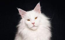 缅因猫颜色大全:红色、白色、黑色、蓝色等纯色缅因猫
