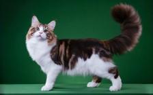 红烟色、黑烟色、玳瑁色、三花色,哪种缅因猫花色便宜?