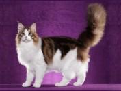 纯种缅因猫特征是怎样的?谈缅因猫的特点