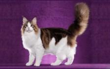 谈虎斑缅因猫花纹:鱼骨纹,大理石纹,棕虎,银虎,红虎等虎斑纹缅因猫