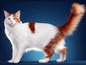 带血统证书的缅因猫应该去哪里买,缅因猫中国有得卖吗?