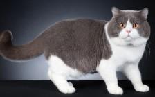 英短适合吃什么猫粮?英国短毛猫吃什么猫粮好?
