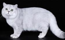 《世界名宠俱乐部的英国短毛猫知识系列》