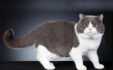《英国短毛猫品相详解电子书》英短猫品相鉴定