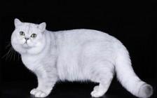 《纯种猫·繁育核心技术详解》繁育课程,纯种猫繁育的核心秘密