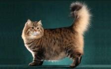 《西伯利亚森林猫品相详解电子书》西伯利亚猫品相鉴定