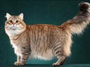 西伯利亚猫多少钱一只?谈西伯利亚森林猫价格