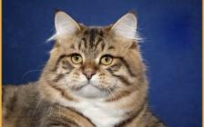 西伯利亚猫好养吗?西伯利亚森林猫怎么养?