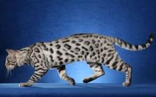 银色孟加拉豹猫,谈孟加拉豹猫银豹