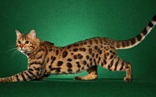 《世界名宠俱乐部的孟加拉豹猫知识系列》