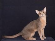 《阿比西尼亚猫品相详解电子书》