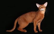 阿比猫吃什么猫粮?谈阿比西尼亚猫怎么养