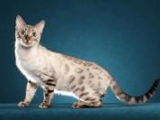 孟加拉豹猫雪色,谈白色孟加拉豹猫雪豹