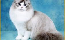 布偶猫几度觉得冷?布偶猫冬天要穿衣服吗?