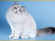布偶猫能长多大?布偶猫正常体重表_布偶猫长大了有多长?
