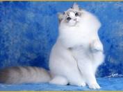 布偶公猫不绝育没事吧?布偶公猫做绝育的最佳时间、布偶公猫绝育多少钱?