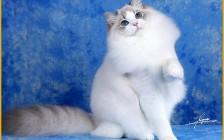 极品布偶猫_布偶猫品相标准_布偶猫品种介绍与图解
