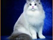 布偶猫公的好还是母的好?布偶猫养公的还是养母的?