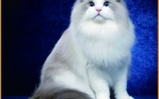 布偶猫眼睛颜色等级表_布偶猫眼睛颜色几号好?