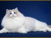 养了布偶猫会后悔吗?养了布偶猫后悔的原因