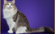 森林猫多少钱一只?森林猫好养吗?