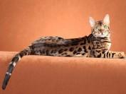 孟加拉豹猫4000块买的,难道孟加拉豹猫不值钱了?