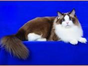 布偶猫为什么呼噜呼噜叫?猫咪咕噜咕噜地叫的原因