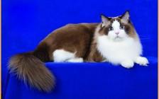 【布偶猫】重点色布偶猫为什么会变色?