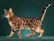 20万一只孟加拉豹猫?8万一只孟加拉豹猫?孟加拉豹猫价格3000?