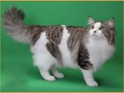 谈挪威森林猫与西伯利亚、挪威森林猫与缅因猫的区别