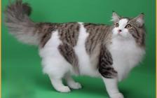 谈挪威森林猫怎么区分:挪威森林猫的串串