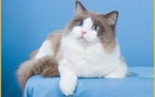 布偶猫的智商有多高?布偶猫聪明吗?布偶猫聪明度排第几名?