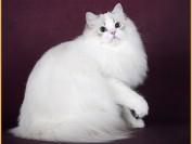 布偶猫价格_布偶猫纯种多少钱_布偶猫为什么这么贵?