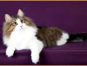 如何看挪威森林猫的品相?谈挪威森林猫品相鉴定